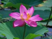 【伊豆沼・内沼】見えないほど向こうまで、全て蓮で覆われた沼。夏、花咲く蓮の沼を船で散策。